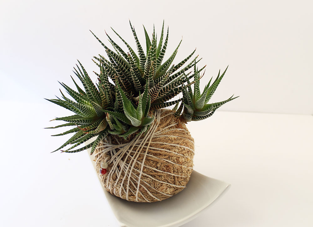 diy garden planters with Kokedama Haworthia on Paw Patrol 3d Backpack 3222682 moreover Gabion Pic Info 44 together with Plastic Lunch Box Set 4pc 323372 likewise Hobby World Modelling Clay 14pc 310339 together with Tire Planters Garden.
